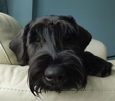 My giant schnauzer puppy Jett