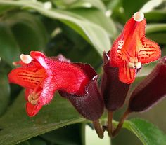 "Mona Lisa Lipstick Plant 6"" Hanging Pot - Aeschynanthus *** To view further for this item, visit the image link."