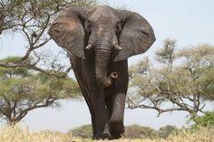 Słoń afrykański. Słoń afrykański – to największy ze współcześnie żyjących gatunków ssaków lądowych. Wcześniej był uznawany jako jeden gatunek wraz z afrykańskim słoniem leśnym. Zwierzę stadne, zamieszkuje afrykańską sawannę, lasy i stepy od południowych krańców Sahary po Namibię, północną Botswanę i północną część Afryki.  Zwyczaje żyje w grupach rodzinnych, około 70 lat.