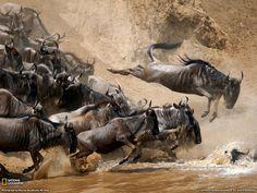 Great Migration of Wildebeest from Tanzania to Maasai Mara.