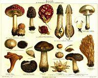 Ciuperci Pleurotus otrăvitoare!?... http://ciupercomania.blogspot.com/2013/12/ciuperci-pleurotus-otravitoare.html sunt ele otrăvitoare?