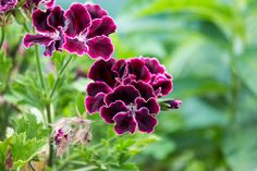 Flowing Purple Geranium Blooms