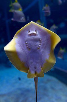 Sting Ray at SEA Aquarium – Sentosa, Singapore