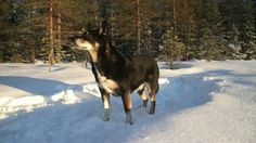 Lapponian Herder dog photo | Dog Lapponian Herder, used by the Scandinavian sami people for herding ...