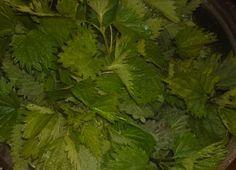 Kopřivový med Parsley, Food And Drink, Herbs, Syrup, Herb, Medicinal Plants