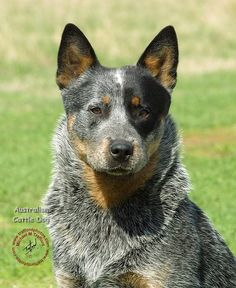 cow dogs | ... mat designs/Dogs/Australian Cattle Dog/Australian Cattle Dog 9F061D-04