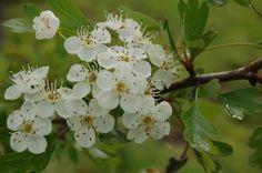flores de espinero