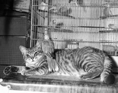 "yesterdaysprint: "" Misty, a cat, and her friend Nappy, a turtle dove, Los Angeles, 1951 """