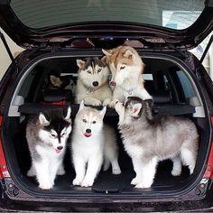 Undeniable Reasons to Own a Siberian Husky Ideas. Irrefutable Reasons to Own a Siberian Husky Ideas. Cute Baby Animals, Animals And Pets, Funny Animals, Siberian Husky Puppies, Husky Puppy, Siberian Huskies, Malamute Husky, Baby Huskies, Pomeranian Puppy