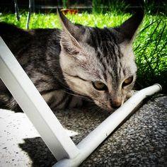 #lokalny #tygrys #local #tiger #cat #instacat #catphoto #kot #kotografia #kici #cica #garden #grass #trawa #ogród