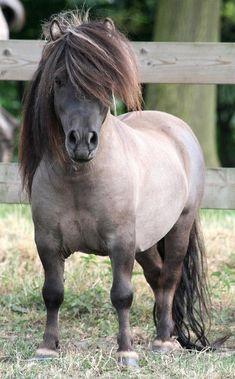 Shetland Pony stallion - named 'Univers van de Morgendster'