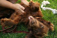 Field Spaniel Puppy enjoying having his Tummy rubbed