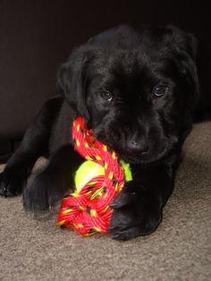 Black labrador puppy - Milou - Auckland.
