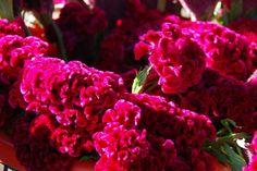 Celosia - Red Velvet Flowers