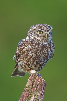 elvenlake:   Little owl - life