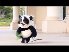 Huxley, a dog that looks like a panda everyday, sports his panda halloween costume for a run in the park.