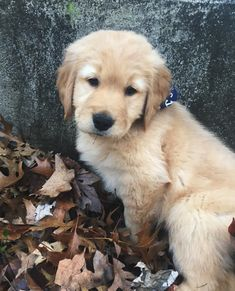 #goldenretriever Animals And Pets, Baby Animals, Cute Animals, Cute Dogs And Puppies, I Love Dogs, Doggies, Raza Golden, Animal Pictures, Cute Pictures