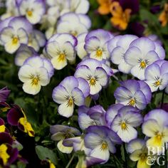 Pansies and violets are the go-to standbys for cool-weather blooms.