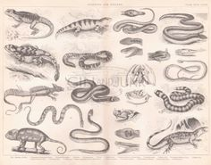 Your place to buy and sell all things handmade Antique Books, Snake Print, Reptiles, Vertebrates, Animal Prints, Antiques, Evolution, Plate, Animals