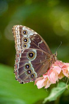 Eulen-Schmetterlinge, Eulen-Schmetterling, jetzt bestellen auf kunst-fuer-alle.de