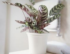 Its patterned leaves (in colors like rose, white, and yellow) makes this plant a welcome addition to any room — and too much direct light might actually fade its lovely markings.