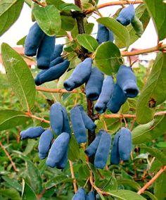 Honingbes (Lonicera kamtschatica) heeft donkerblauwe vruchten met een frisse, zuurzoete smaak. De vruchten zijn zeer gezond want ze hebben een hoog vitamine B en C gehalte. Honingbessen worden ook vaak gebruikt om sap, jam en compote van te maken. Oogsten kan vanaf mei.