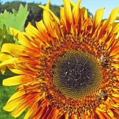 20 Pack of Seeds Yellow Giant Sunflower Seeds to Plant Huge 2 ft Wide Flowers Hummingbird and Butterfly Friendly A Real Giant