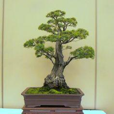 tea tree Bonsai