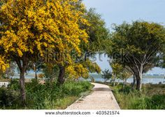 The trail along the lake past the flowering mimosa trees. Cyprus