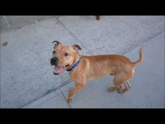 SUPER URGENT  Brooklyn Center  My name is PRYME. My Animal ID # is A1110304. I am a neutered male tan and white am pit bull ter mix. The shelter thinks I am about 1 YEAR 1 MONTH old.  I came in the shelter as a OWNER SUR on 04/28/2017 from NY 11208, owner surrender reason stated was PERS PROB.