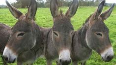 Police recovers stolen donkeys, suspect gets away