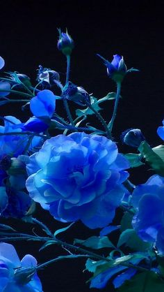 rose_buds_garden_blue_black_background_38655_640x1136 by vadaka1986, via Flickr
