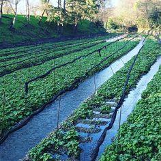 На ферме #васаби #Япония #фототуры #фототур #мидокоро #ферма #грядки www.midokoro.jp Авторские путешествия по японской глубинке от @midokoro