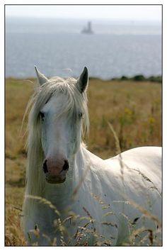 #Bretagne #Finistere - 11 juillet à la Pointe du Van : chevaux sur fond du Raz de Sein #cheval #horse