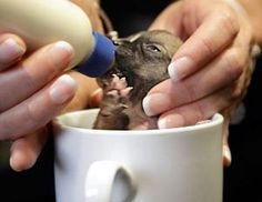 World's smallest dog being fed in a coffee cup.