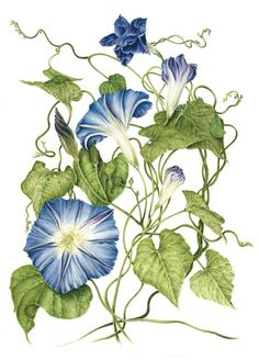 Morning Glory - Other Plants - Strain Hunters Forum