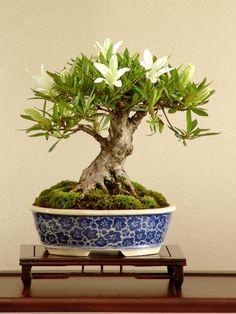 Morten Albek - Denmark  Satsuki Azalea 'Hakurin' (Rhododendron indicum 'Hakurin')  Height: 12cm / 5 inches  Pot: Kimiko (Japan)