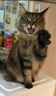 Pick up your lesson plan and get ready to teach your cat to do something amazing! Pick up your lesson plan and get ready to teach your cat to do something amazing! Cute Baby Animals, Animals And Pets, Funny Animals, I Love Cats, Cute Cats, Funny Cats, Pretty Cats, Beautiful Cats, Crazy Cat Lady