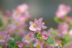 ピンク色の花(STFで撮影)