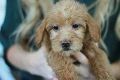 Sadie our mini Labradoodle at 7 week. #labradoodle