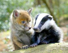 Baby fox and baby badger friends
