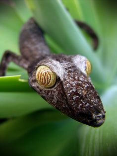 reptiglo:  Leaf Tail Gecko 1 by [ CK ] on Flickr.