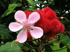 Flower and fruits of the tree Urucum Bixa orellana
