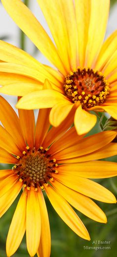 Osteospermum by AJ Baxter.  Visit his gallery at:  http://www.58images.com/