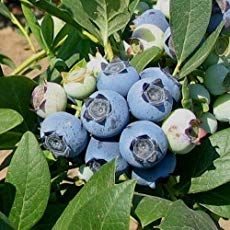 How to Grow Blueberries - Gardening Tips