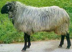 Tiroler Steinschaf Sheep