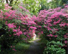 Rhododendrons. Le Parc du Bois des Moutiers - Varengeville sur Mer