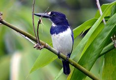 Blue-and-white kingfisher