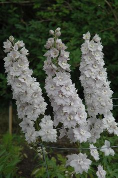 Double Innocence Larkspur (Delphinium 'Double Innocence') at Spruce It Up Garden Centre