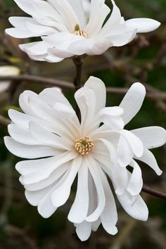 ' by Alan Buckingham Ground Cover Plants, Plants, Magnolia, Beautiful Flowers, Magnolia Stellata, Flowers, White Magnolia, Summer Garden, Flowering Trees